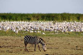 Zebra in the pasture next to the birds