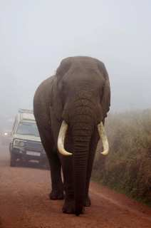 African giant - elephant