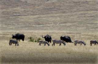 Bison and zebras in the pasture