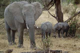 Elephant with elephants on a walk