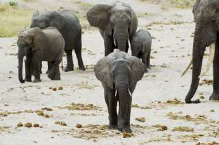 Elephant group