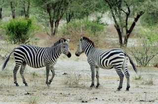 Zebras on the expanses of the African savannah