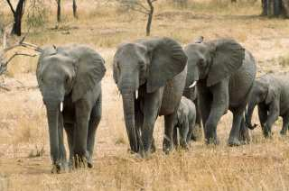 Herd of elephants during the transition