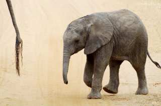 Baby elephant for a walk