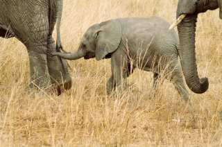 Baby Elephant Protected by Parents