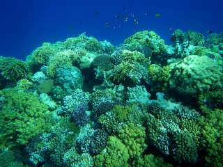 Corals of the Red Sea