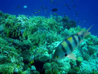 Sergeant fish in the Red Sea