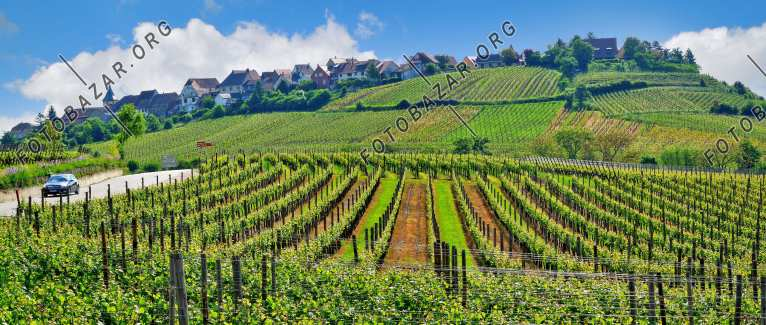 France. Elsas. Vineyards