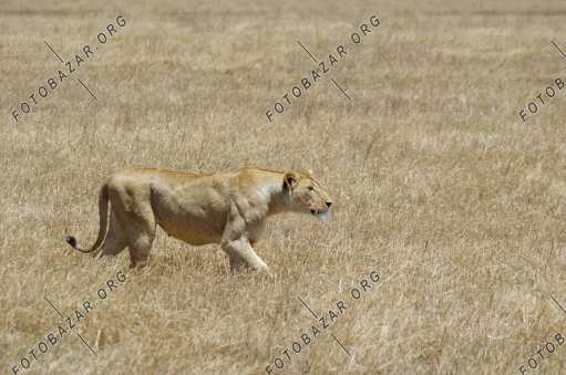Lioness prepares for the hunt