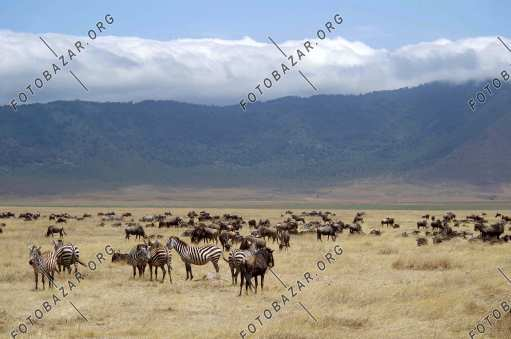 Zebras and antelopes feed on lush grass