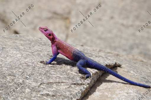 Agama on the stone