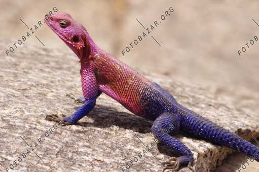 Agama basking in the sun
