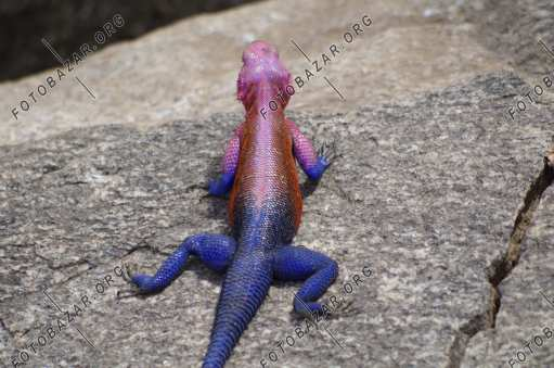 Agama on the hunt