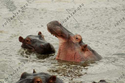 Hippos hide from the heat in the water