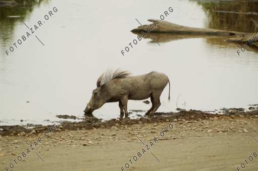 Warthog at a watering hole