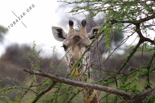 Giraffe in a nature reserve