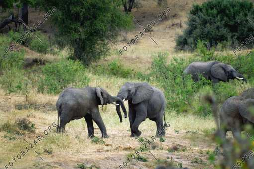 Elephants figure out relationships