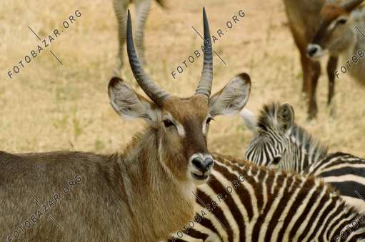 Antelopes and zebras on a halt